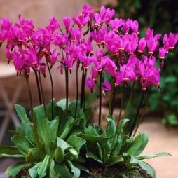 Дряквенник розовый аист выращивание 5