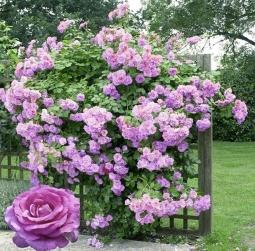 голубая плетистая роза фото