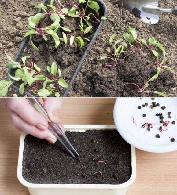 Как сажать свеклу в открытый грунт рассадой 19
