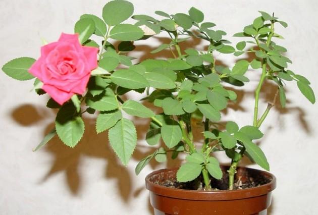 Комнатные розы фото и названия