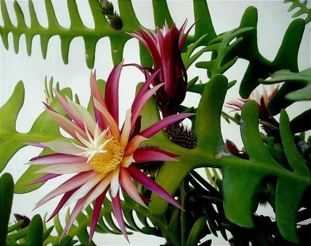 Цветок лесной кактус
