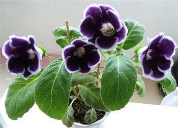 Комнатные Растения Знака Зодиака Телец