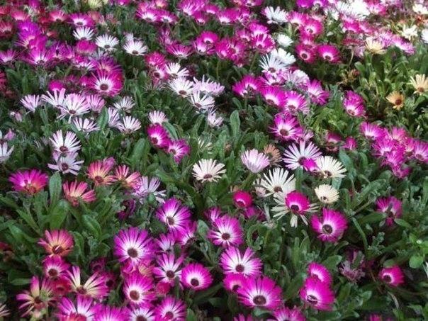 Однолетние и многолетние цветы для сада с