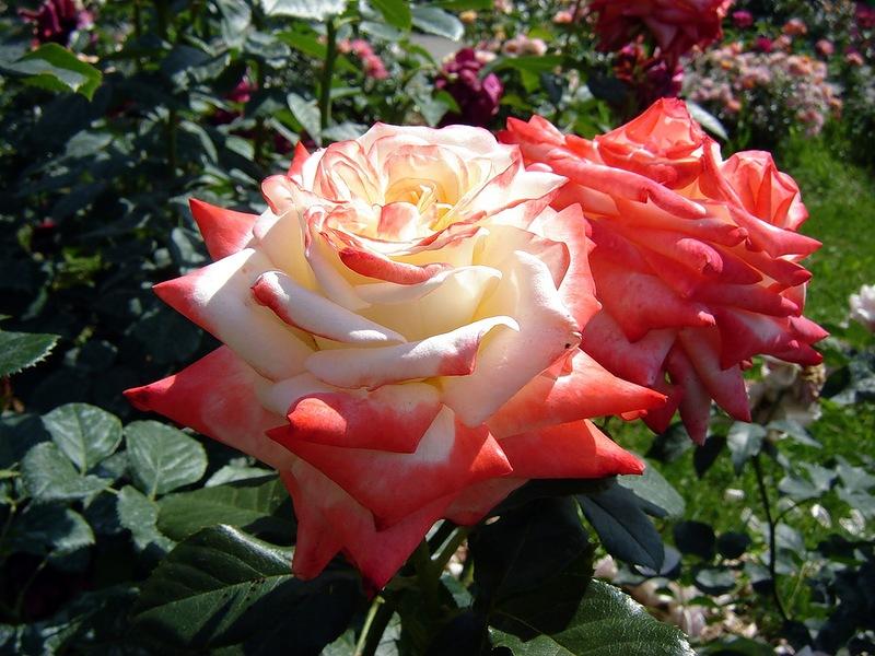 12 причин угнетающие розу. болезни и вредители роз 0