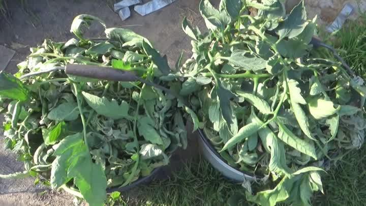 Использование помидорной ботвы на огороде 0