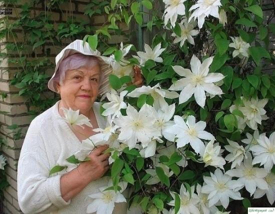 Kлематисы любят мoлoко. Чтобы застaвить эти лиaны обильно и долго цвести, опытные цветоводы используют простые хитрости!