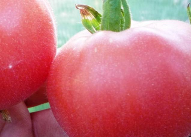 отличающийся добротой, помидор персик розовый отзывы фото считают, что