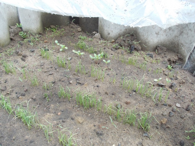 как долго всходят семена цинии