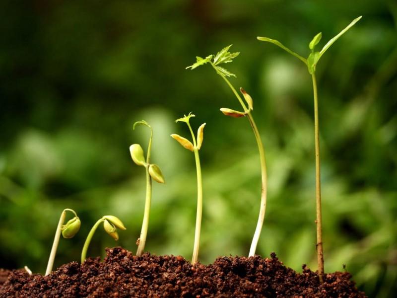 сколько дней прорастают семена кабачков